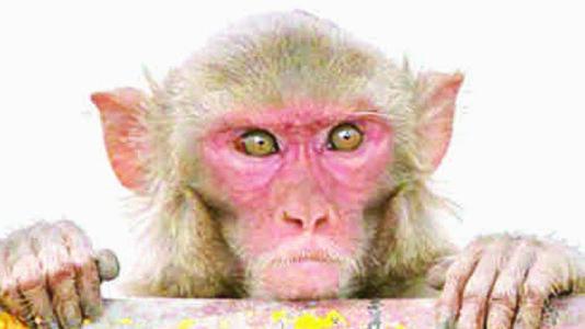 વાંદરાએ દેશી બોમ્બ ભરેલી પોલિથિનની થેલી ફેંકી : ધડાકો થતાં ત્રણને ઈજા