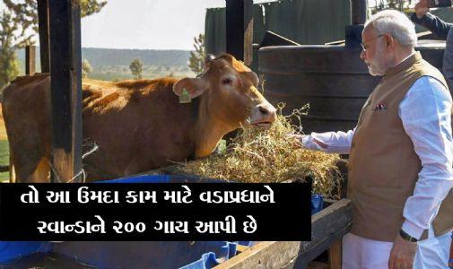 નરેન્દ્ર  મોદીએ રવાન્ડાવાસીઓને ૨૦૦ ગાયો કેમ ભેટમાં આપી?